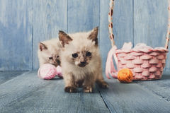 White kittens at blue wood Royalty Free Stock Photo