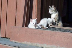 White Kittens and Mother Royalty Free Stock Photo