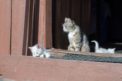 White Kittens and Mother Royalty Free Stock Photography
