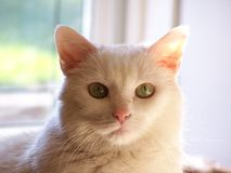 White Kitty. Staring at the camera Royalty Free Stock Photography