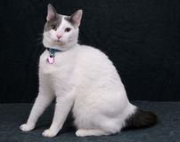 White kitty on black Royalty Free Stock Photo