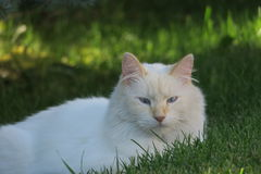 White kitty  Stock Image
