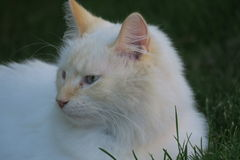 White kitty  Royalty Free Stock Photos