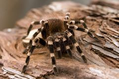 White Kneed Tarantula Royalty Free Stock Images