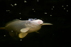 White Koi fish Royalty Free Stock Images