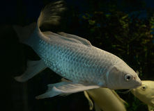 White koi fish long Tail. Swimming in aquarium Stock Images