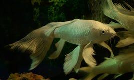 White koi fish long Tail. Swimming in aquarium Stock Photo