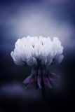 white koniczynowy Fotografia Stock