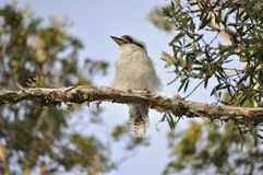 White kookaburra on a paper bark tree Stock Photos
