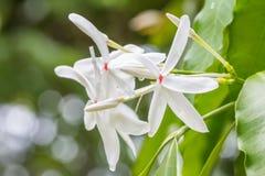 White Kopsia arborea flower (Apocynaceae). Royalty Free Stock Images