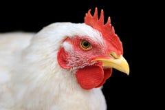 white kurczaka Obraz Stock