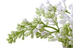 white kwiat zdjęcie stock