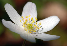 white kwiatek ii Obrazy Royalty Free