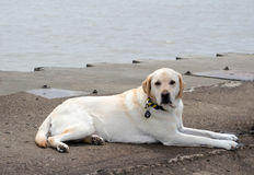 White lab dog laying on a dock. A white lab rests on a dock along lake Michigan, waiting for his owner to return Royalty Free Stock Image