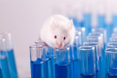 Laboratory Mouse with Test Tubes. White lab laboratory rat white background red background Stock Image