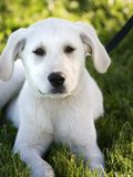 White lab puppy. Lying in the grass Royalty Free Stock Images