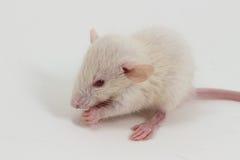 White Lab Rat Stock Images