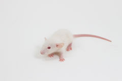 White Lab Rat Royalty Free Stock Photo
