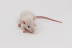 White Lab Rat Stock Photography