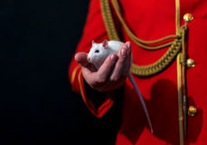 White lab rat in his hand Royalty Free Stock Photo
