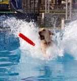 White lab retrieving. Toy in the water Royalty Free Stock Photography