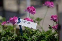White Label of Pelargonium Capitatum and Rose Geranium or Rose-scented Pelargonium in background royalty free stock image