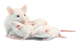White laboratory mice: mother with pups; isolated. White laboratory mice: mother with pups, which are 9 days old; isolated on white stock image