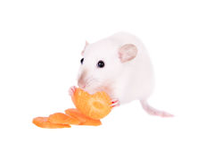 White laboratory rat eating carrot Stock Image