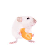 White laboratory rat eating carrot Stock Photography