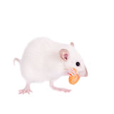 White laboratory rat eating carrot Royalty Free Stock Image