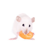 White laboratory rat eating carrot Royalty Free Stock Photography