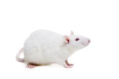 White laboratory rat on white Stock Image