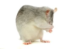White laboratory rat on white Stock Photography