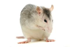 White laboratory rat on white Stock Photos