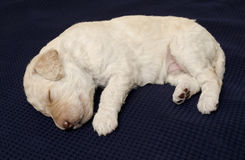 White Labradoodle Puppy Stock Image