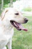 White Labrador. Retriever sitting on grass Royalty Free Stock Photography