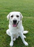 White labrador. Sitting on grass stock photography