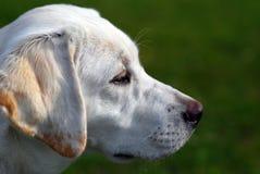 White Labrador Stock Image