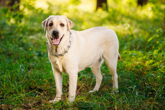 White Labrador Dog Looking At Camera Outdoor. Green Grass In Par. White Labrador Dog Looking At Camera Outdoor. Green Grass In Forest, Park Stock Photography