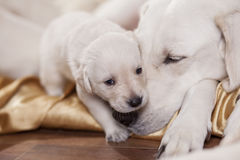 White labrador and its puppy Stock Images