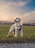 White Labrador looking at sunset. Royalty Free Stock Images