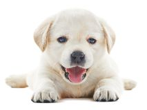 White labrador puppy Royalty Free Stock Image