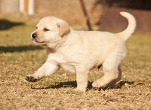 White Labrador puppy runs on grass Royalty Free Stock Photos
