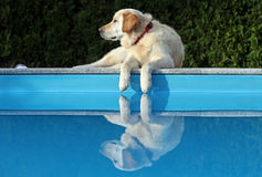 White Labrador reflection. White Labrador sitting over blue pool reflection in water Royalty Free Stock Photo