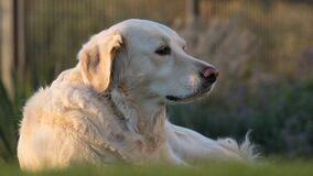 White Labrador Retriever Royalty Free Stock Photos