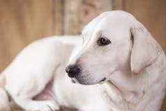 White labrador retriever Stock Photo