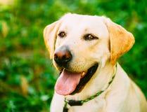 White Labrador Retriever Dog On Green Grass Background Royalty Free Stock Image