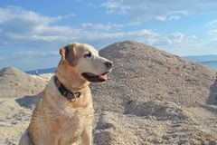 White Labrador retriever dog sitting at the beach. Beautiful white Labrador Retriever dog sitting at the beach whit blue sky and sea as background/ animals in Royalty Free Stock Image