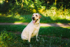 White Labrador Retriever Dog Sitting In Green Grass, Forest Park Royalty Free Stock Photo