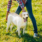 White Labrador Retriever Dog Standing On Grass Stock Photo